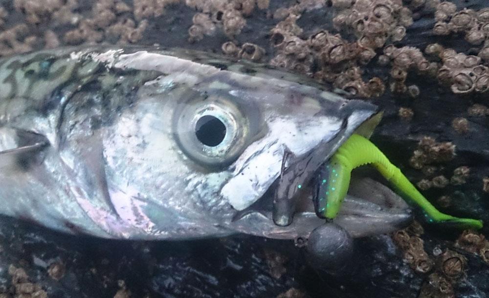mackerel-crappie-thumper