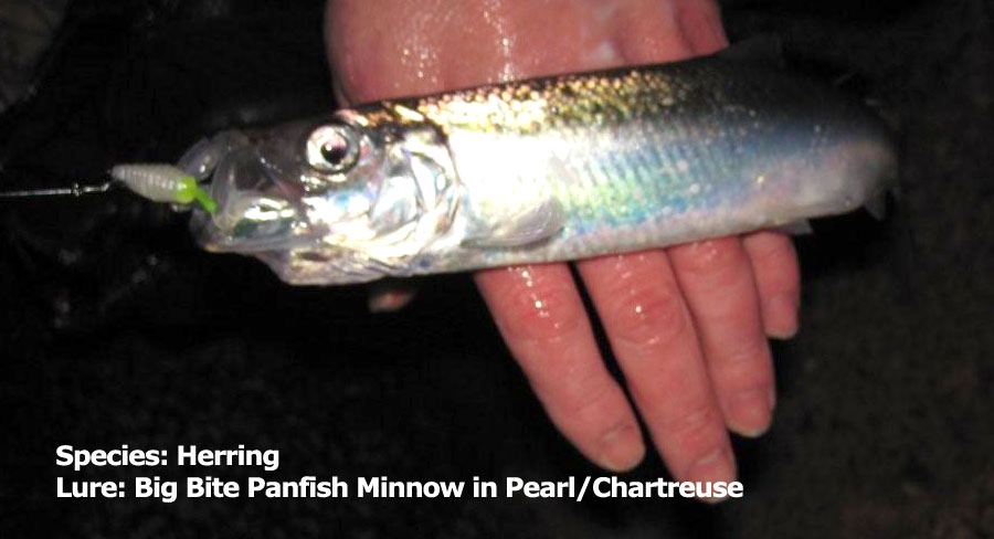 herring-panfish-minnow-pear
